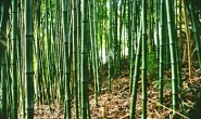 front-bamboo